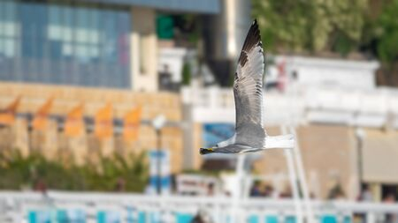 Sea gull flies against the backdrop of the city. The Great black-backed gull flying in the sky.