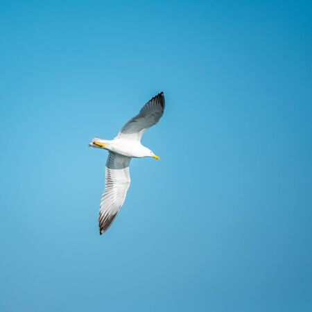 Sea gull in the clear blue sky. The Great black-backed gull flying, Larus marinus, in blue clear sky background,