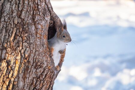Squirrel in winter looking out of a hollow tree. Eurasian red squirrel, Sciurus vulgaris