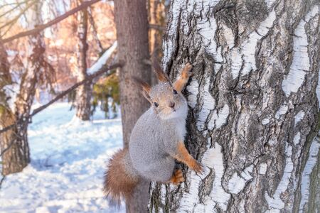 Portrait of a squirrel on a tree trunk. Squirrel creeps on a birch in the winter. Eurasian red squirrel, Sciurus vulgaris