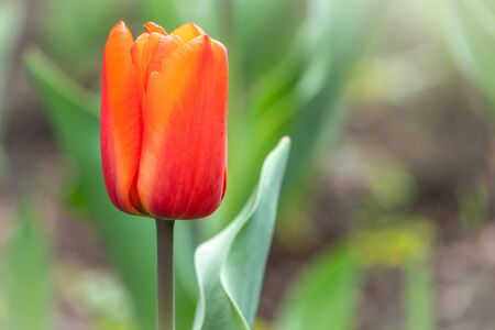 Red tulip with blurry background in sunset. Spring flower with shallow depth of field outdoors, Natural sprintime background. Banco de Imagens