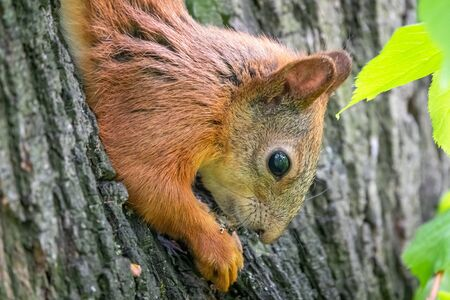 Squirrel eats a nut while sitting upside down on a tree trunk. The squirrel hangs upside down on a tree against colorful blurred background. Close-up. Eurasian red squirrel, Sciurus vulgaris 스톡 콘텐츠