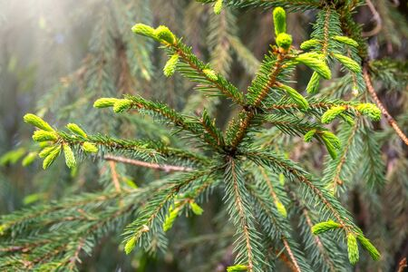 Fir branches with fresh shoots in spring. Young green shoots of spruce in the spring. Spruce branches on a green background. Young growing fir tree sprouts on branch in spring forest.