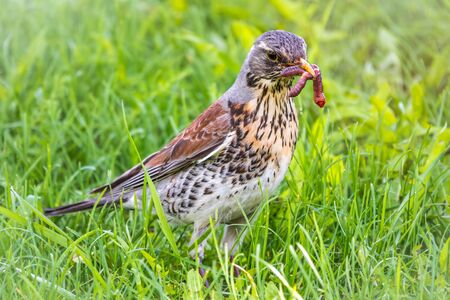 Fieldfare collects worms on a green lawn. Fieldfare, Turdus pilaris. Bird with beak full of worms. Close-up of foraging parent animal collecting food. Standard-Bild - 142305726