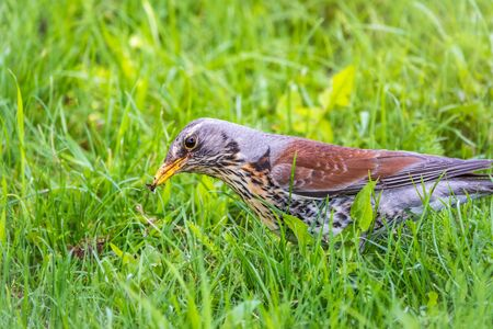 Fieldfare collects worms on a green lawn. Fieldfare, Turdus pilaris. Bird with beak full of worms. Close-up of foraging parent animal collecting food.