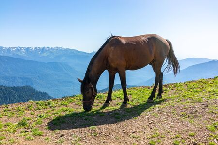 A brown horse grazes in the mountains. The beautiful brown horse grazing on the mountain slope 版權商用圖片