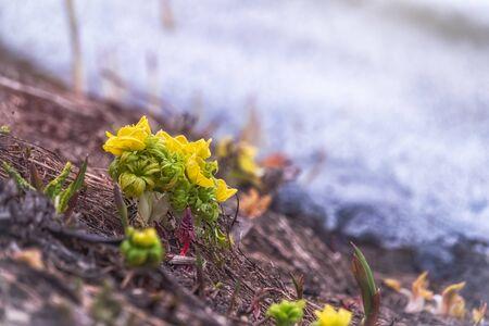 Yellow flowers of blooming globeflower or globe flower on background of white melting snow. Spring flowers on a blurred background. Yellow flowers Trollius ranunculinus Stockfoto
