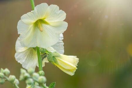 White and yellow mallow or Malva flower blossomed under the sun in the garden