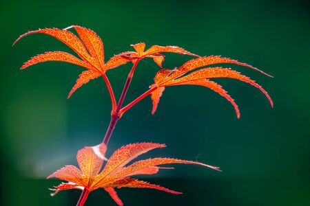 Summer or Autumn foliage , Japanese Red maple tree leaves, Acer palmatum, on blured background Background image with copy-space 写真素材