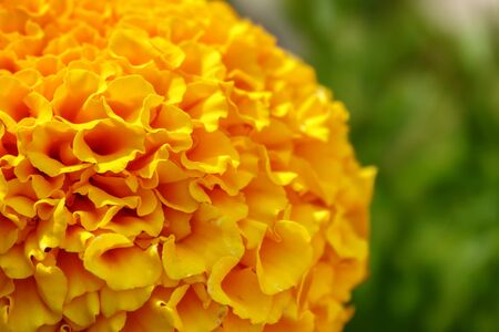 Detailed image of yellow marigold petals. Flower detail and texture with bokeh background in summer. Yellow-orange colors Tagetes or marigolds. Background image.