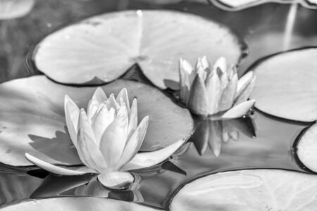 Black and White photo of two water lily flower, Nymphaea lotus, and Nymphaea alba on a light water background. Two bright water lilies in the pond.