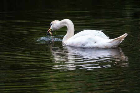 A graceful white swan swimming on a lake with dark water and eating green grass. The white swan is reflected in the water. The mute swan, Cygnus olor