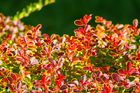 Branches of bushes with young green and red leaves in the sunset light. Background image.