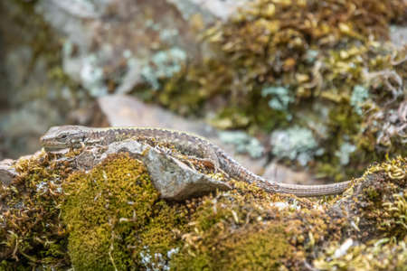 Lizard Darevskia alpina sits on a stone and moss under the sun. Background lizard on stone close up.