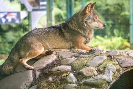 Gray wolf in the aviary resting on the stones. The wolf, Canis lupus, also known as the gray wolf or grey wolf, is a large canine native to Eurasia and North America