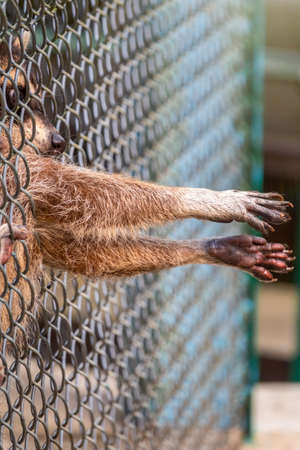 Raccoon in the zoo stuck his paws through the bars. Raccoons in the enclosure in the zoo. The raccoon , Procyon lotor is a medium-sized mammal native to North America