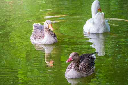 Three geese - two gray and one white - swim in the lake with green water. The greylag goose Anser anser and Anser cygnoides