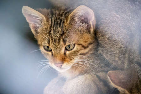 Portrait of young Wild forest cat. The European wildcat, lat. Felis silvestris, is a wildcat species native to continental Europe, Scotland, Turkey and the Caucasus Stock Photo