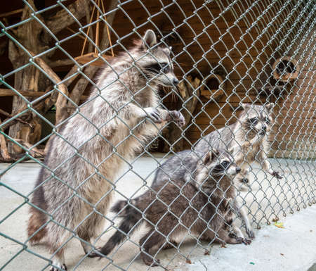 Raccoons in the enclosure in the zoo. The raccoon, Procyon lotor is a medium-sized mammal native to North America