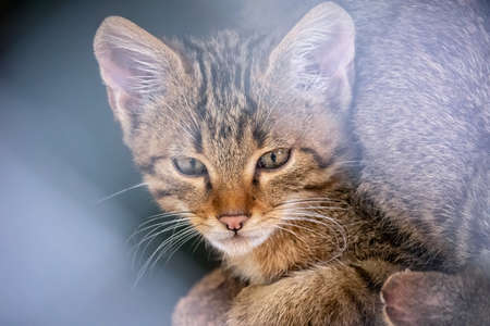 Portrait of young Wild forest cat. The European wildcat is a wildcat species native to continental Europe, Scotland, Turkey and the Caucasus