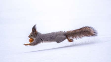 Squirrel with nut quickly runs through the white snow in winter forest. Eurasian red squirrel, Sciurus vulgaris Banco de Imagens - 155103159