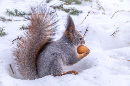 The squirrel sits on white snow with nut in winter. Eurasian red squirrel, Sciurus vulgaris. Copy space background Banco de Imagens - 155429661