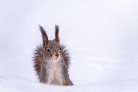 The squirrel funny sits on pure white snow. Portrait of a squirrel. Eurasian red squirrel, Sciurus vulgaris Banco de Imagens - 155429165