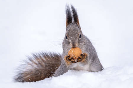The squirrel sits on white snow with nut in winter. Eurasian red squirrel, Sciurus vulgaris. Copy space background Banco de Imagens - 155429710