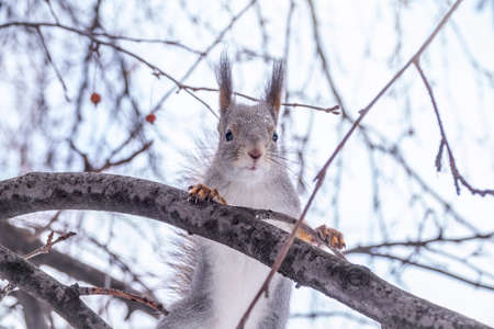 The squirrel sits on a branches without leaves in the winter or autumn. Eurasian red squirrel, Sciurus vulgaris Banco de Imagens - 155283625