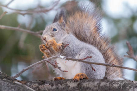 The squirrel sits on a branches without leaves in the winter or autumn. Eurasian red squirrel, Sciurus vulgaris Banco de Imagens - 155283627