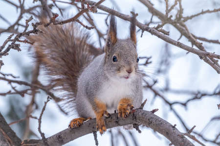 The squirrel sits on a branches without leaves in the winter or autumn. Eurasian red squirrel, Sciurus vulgaris