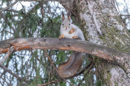 The squirrel sits on a fir branches in the winter or autumn. Eurasian red squirrel, Sciurus vulgaris Banco de Imagens - 155283631