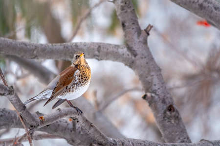 Fieldfare, lat. Turdus pilaris, is sitting on branch in winter or autumn blurred background. Banco de Imagens - 155283728