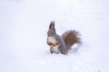 The squirrel funny sits on pure white snow. Portrait of a squirrel. Eurasian red squirrel, Sciurus vulgaris Banco de Imagens - 155283731