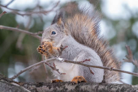 The squirrel sits on a branches without leaves in the winter or autumn. Eurasian red squirrel, Sciurus vulgaris Banco de Imagens - 155283732