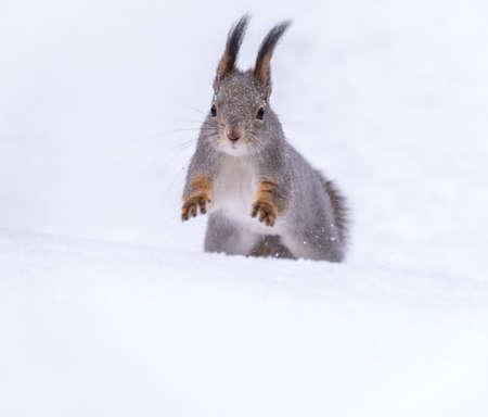 Squirrel quickly runs through the white snow in winter forest. Eurasian red squirrel, Sciurus vulgaris Banco de Imagens - 155283733