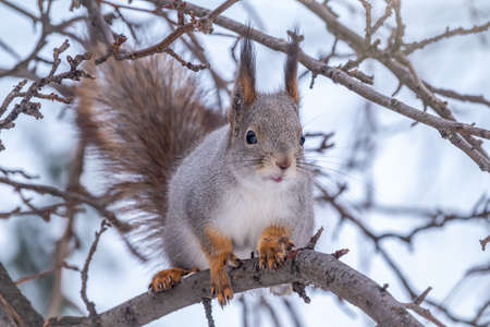 The squirrel sits on a branches without leaves in the winter or autumn. Eurasian red squirrel, Sciurus vulgaris Banco de Imagens - 155283734