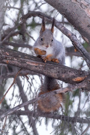 The squirrel sits on a fir branches in the winter or autumn. Eurasian red squirrel, Sciurus vulgaris Banco de Imagens - 155283736