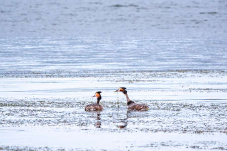 Mating games of two water birds Great Crested Grebes. Two waterfowl birds Great Crested Grebes swim in the lake. Great crested grebe, Podiceps cristatus, is a member of the grebe family of water birds Banco de Imagens - 155283763