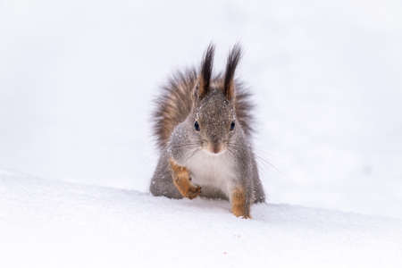The squirrel funny sits on pure white snow. Portrait of a squirrel. Eurasian red squirrel, Sciurus vulgaris