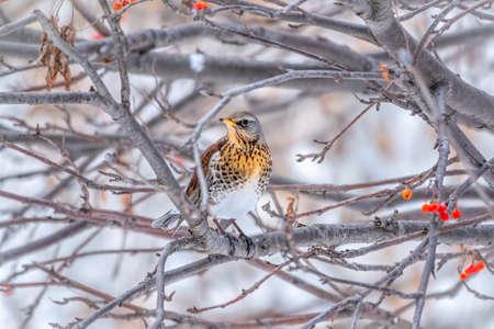 Fieldfare, lat. Turdus pilaris, is sitting on branch in winter or autumn blurred background. Banco de Imagens - 155283769