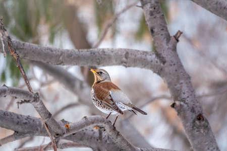 Fieldfare, lat. Turdus pilaris, is sitting on branch in winter or autumn blurred background.