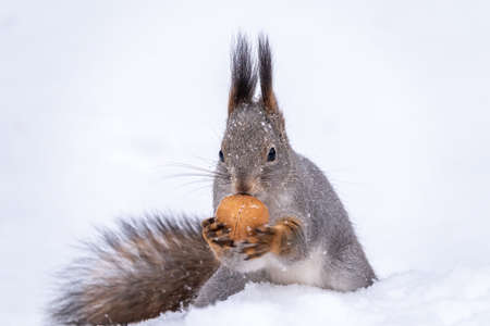 The squirrel sits on white snow with nut in winter. Eurasian red squirrel, Sciurus vulgaris. Copy space background Banco de Imagens - 155283771