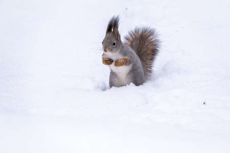 The squirrel funny sits on pure white snow. Portrait of a squirrel. Eurasian red squirrel, Sciurus vulgaris Banco de Imagens - 155283773