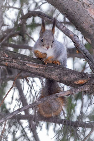 The squirrel sits on a fir branches in the winter or autumn. Eurasian red squirrel, Sciurus vulgaris Banco de Imagens - 155283777