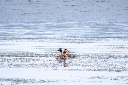 Mating games of two water birds Great Crested Grebes. Two waterfowl birds Great Crested Grebes swim in the lake. Great crested grebe, Podiceps cristatus, is a member of the grebe family of water birds
