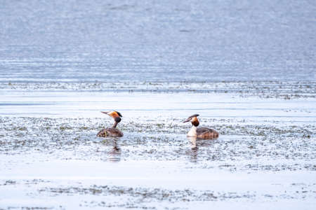Two waterfowl birds Great Crested Grebes swim in the lake. The great crested grebe, Podiceps cristatus, is a member of the grebe family of water birds. Banco de Imagens - 155283787