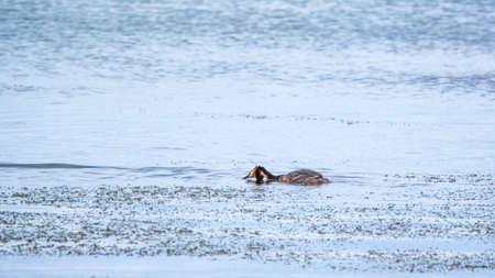 Great Crested Grebe swimming in the calm lake. The great crested grebe, Podiceps cristatus, is a member of the grebe family of water birds.