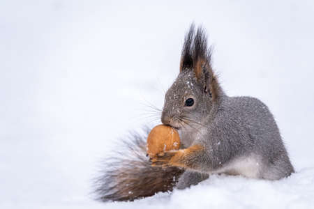 The squirrel sits on white snow with nut in winter. Eurasian red squirrel, Sciurus vulgaris. Copy space background Banco de Imagens - 155277049