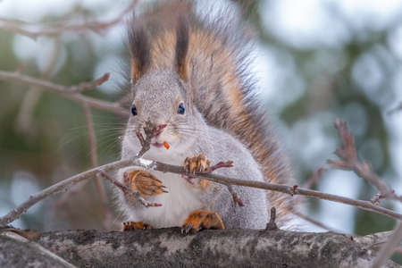 The squirrel sits on a branches without leaves in the winter or autumn. Eurasian red squirrel, Sciurus vulgaris Banco de Imagens - 155280573